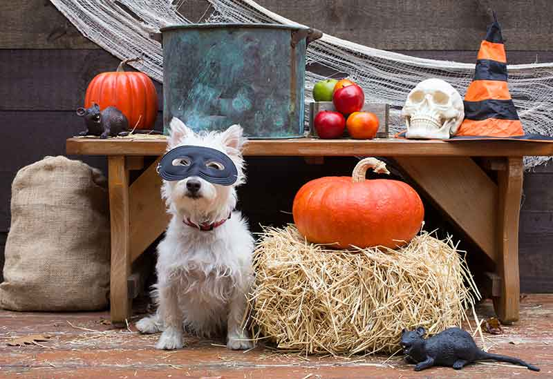 Pet safety on Halloween is important for a pet safe holiday
