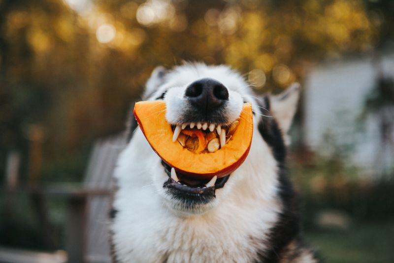 dog with a pumpkin