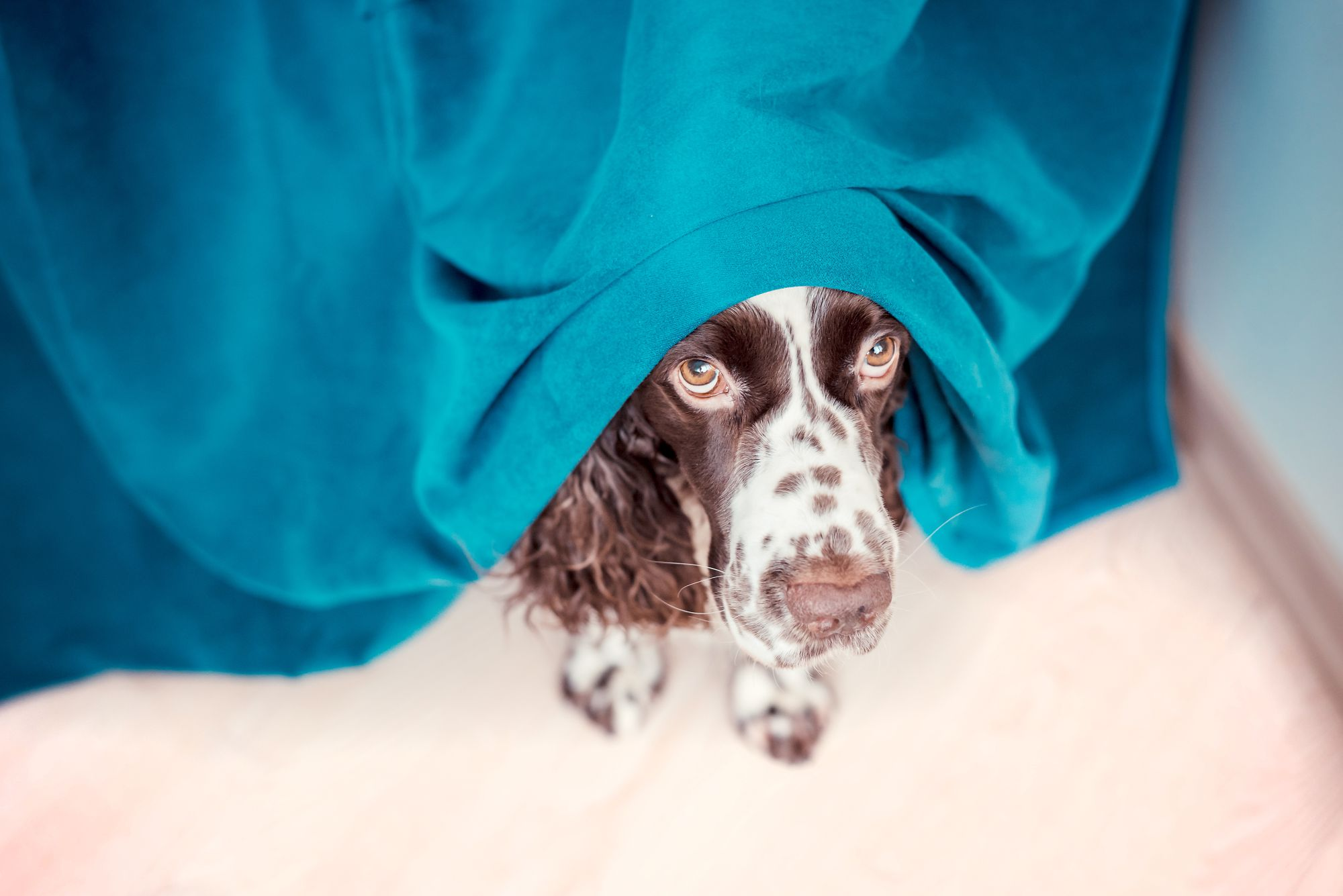 An anxious dog hides under a blanket.